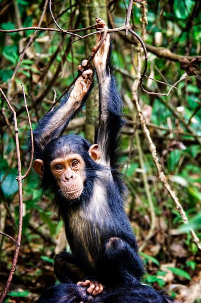 Baby Chimp 2