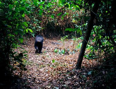 Mahale Mountains Chimp Walking