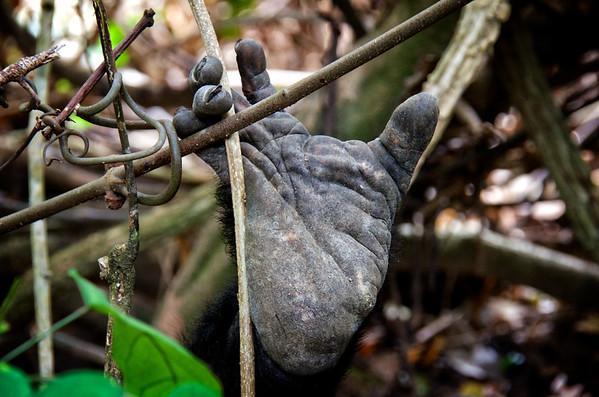 Chimp Foot