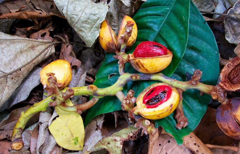 Tanzanian Nutmeg
