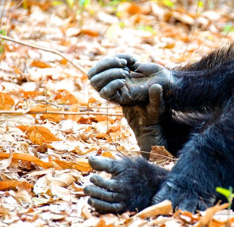 Chimp Hands 1