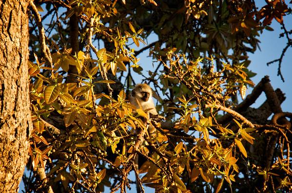 Vervet Monkey Sunset