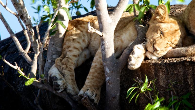 Sleeping Lion Cub 1