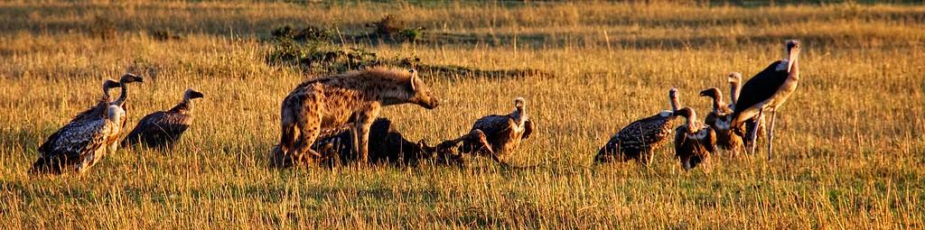 Hyena & Vultures