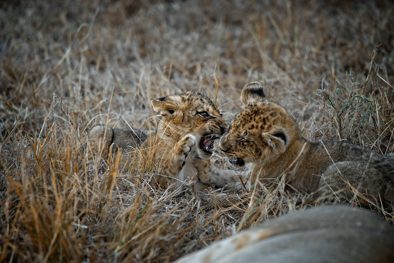 Lion Play Fighting
