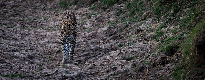 Walking Leopard 1