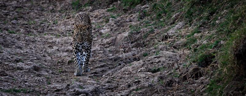 Walking Leopard 1