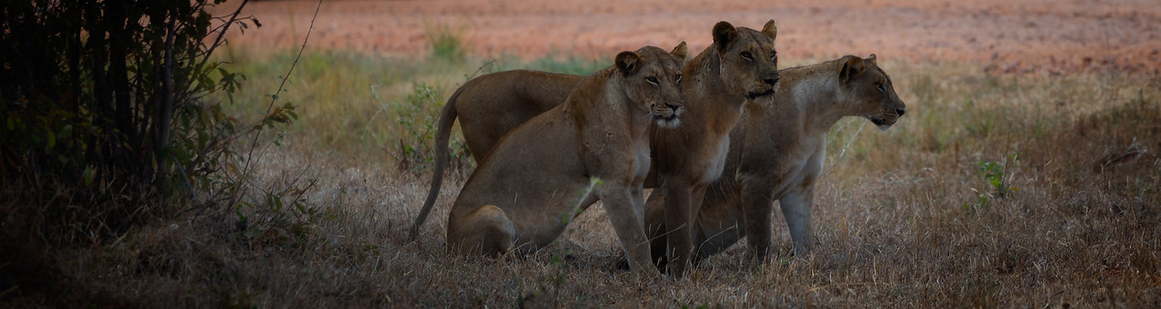 Lions Watching