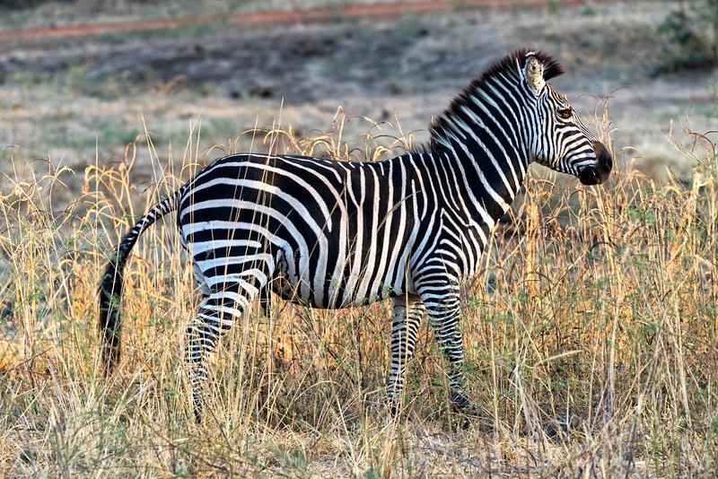 Zambian Crawshay Zebra