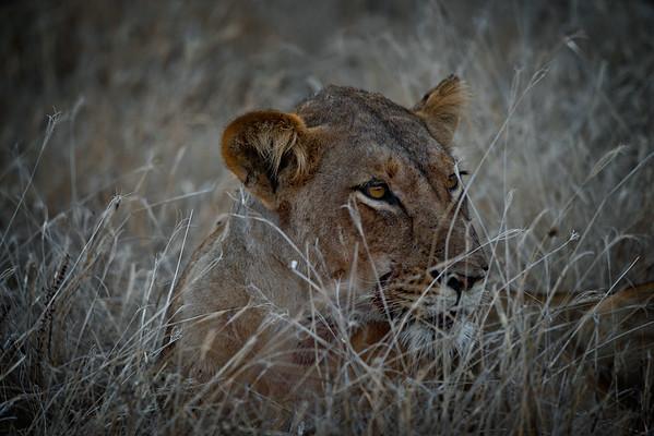 Lion Stare 4
