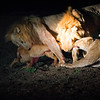 Lion Kill Impala Tug Of War