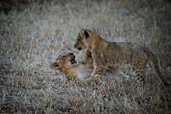Lion Play Fighting 3