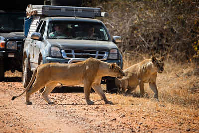 Lion Crossing