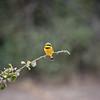 Zambian Bee-Eater 1