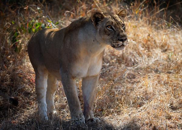 Lion Stare 1