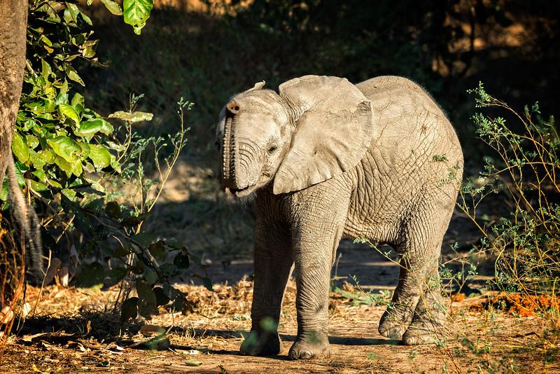 Cross Legged Baby Elephant
