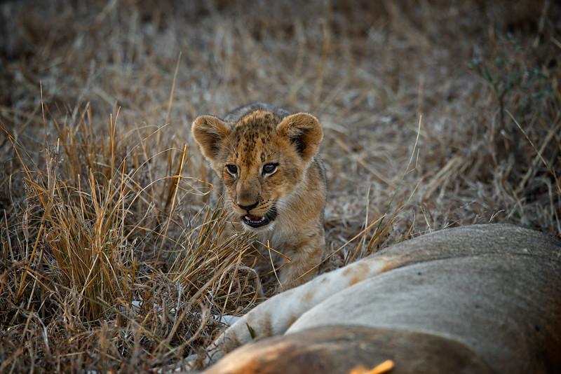 Curious Lion Cub 2