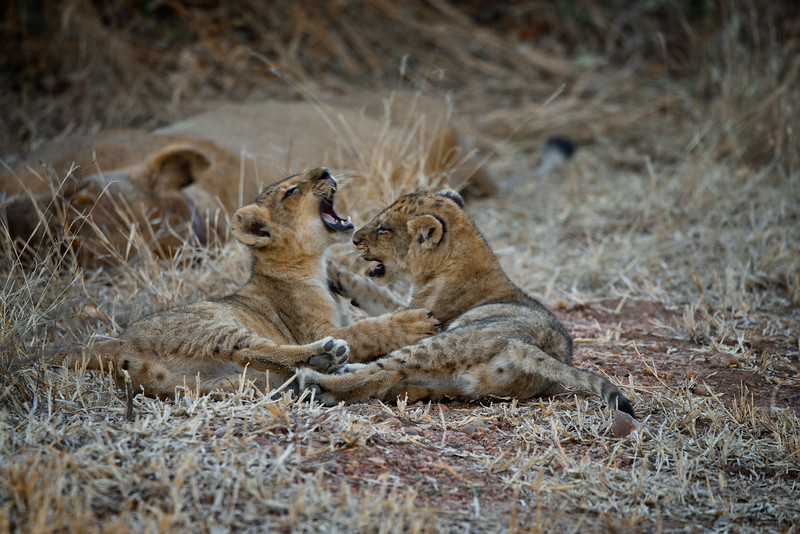 Lion Play Fighting 2