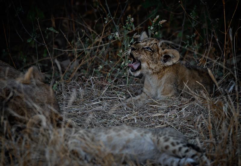 Yawning Lion Cub