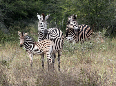 Zebras at Kruger National Park, South Africa.