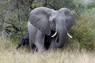 An elephant with her baby at Kruger National Park, South Africa.
