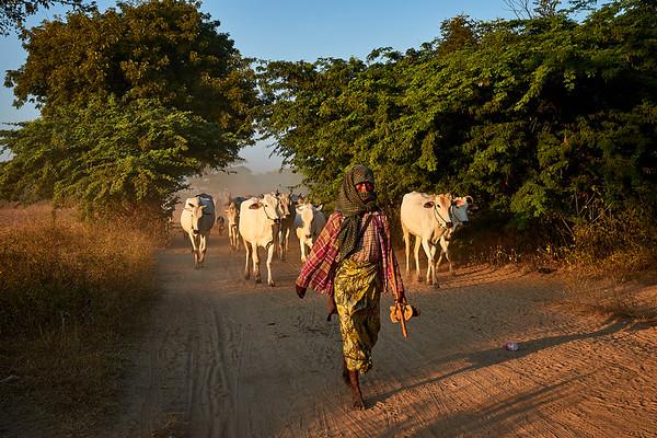 Cowherd leading the way