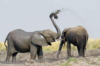 Elephants in the mud, Botswana