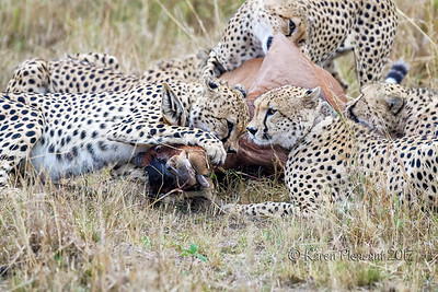 Cheetahs with kill