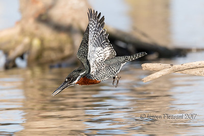 Giant Kingfisher - DIVE!