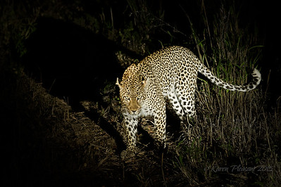 Warthog Wallow leopard (female)