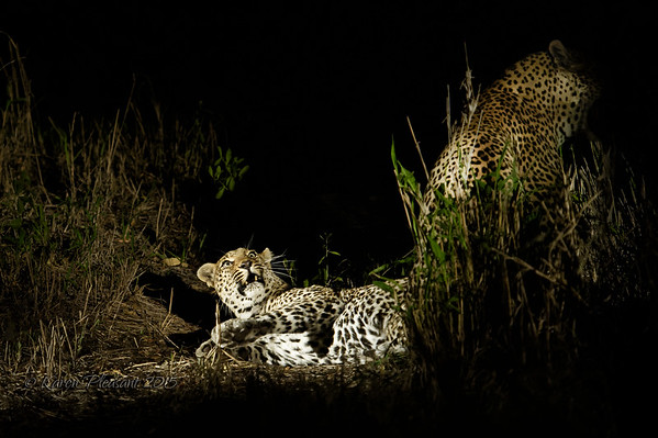 Maxabeni (male) and Warthog Wallow (female) mating