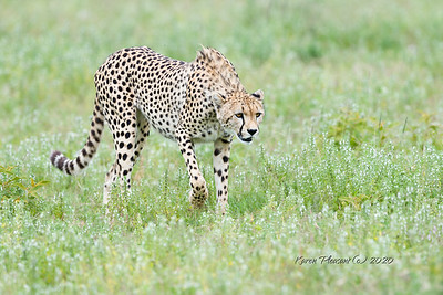 Cheetah stalking....