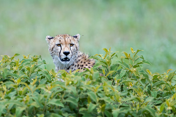 Cheetah in hiding...