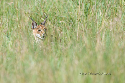 Caracal in deep grass...