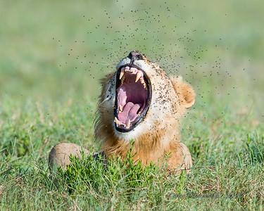 Lion yawning...