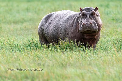Large hippo!