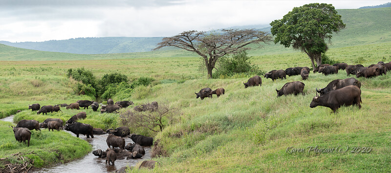 Cape Buffalo along river
