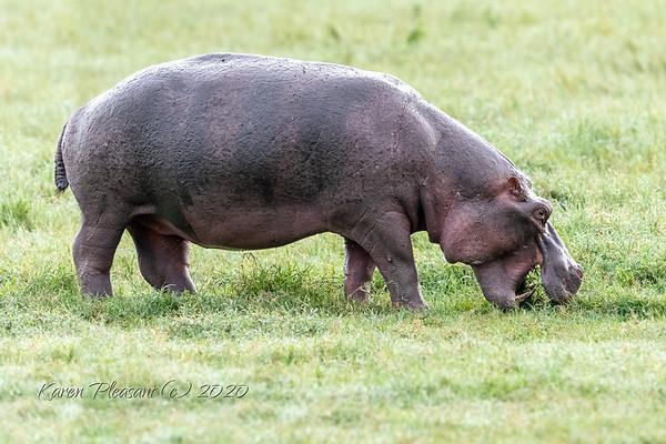 Large hippo!