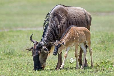 Wildebeest and calf
