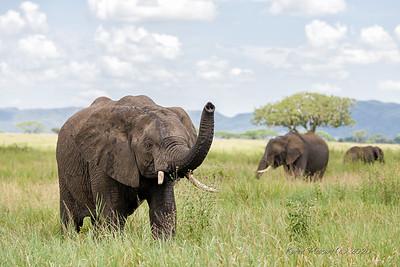 Elephant on Serengeti
