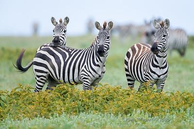 Zebras on watch
