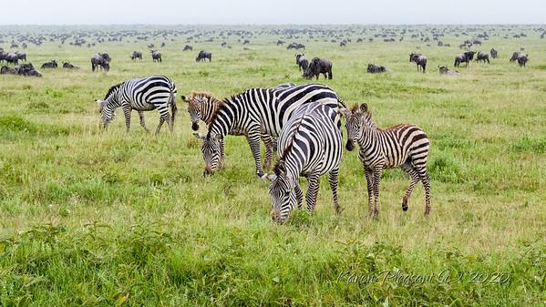 Newly born zebra - in the rain!