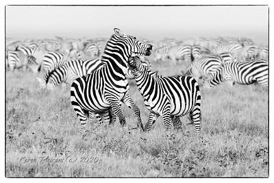Zebras fighting....