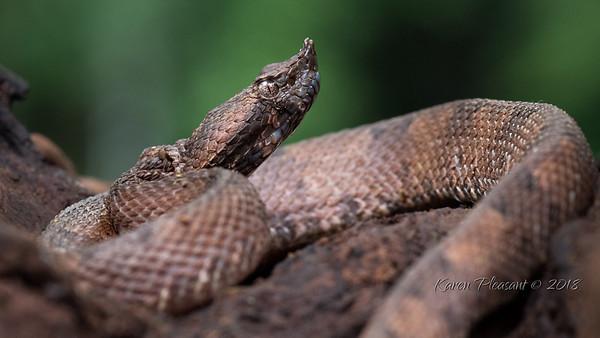 Rainforest Hog-nosed pit viper