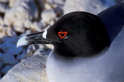 Swallowtail Gull