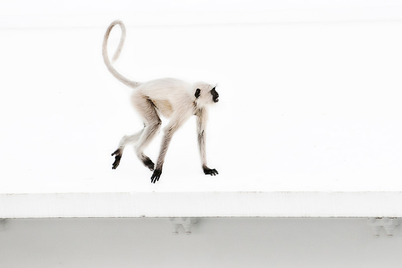 Monkeys invading the hotel's rooftop restaurant in the early morning.