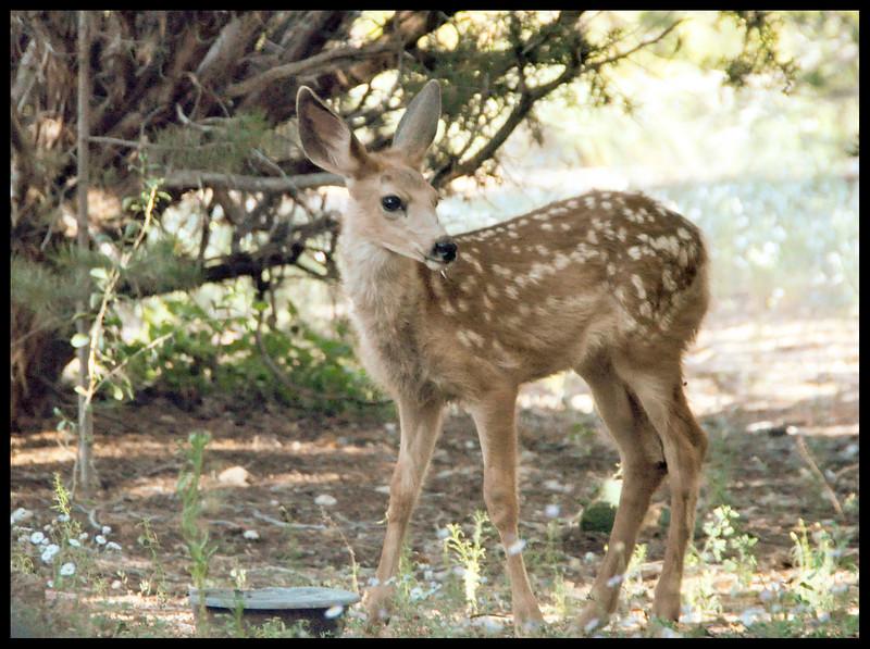Mule Deer Fawn in front yard wishing us a Great Trip.