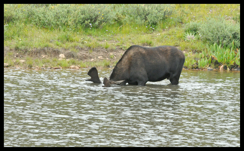 Moose Grazing Underwater - Unlike an ostrich, a moose does not stick its head in the sand