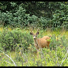 Young Mule Deer Buck in Velvet