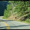 Early Morning Jay Walkers (Runners) - Mule deer doe and fawn.